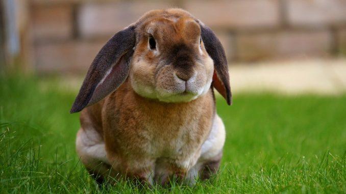 Kaninchen auf einer Wiese, das genug Kaninchenfutter bekommen hat
