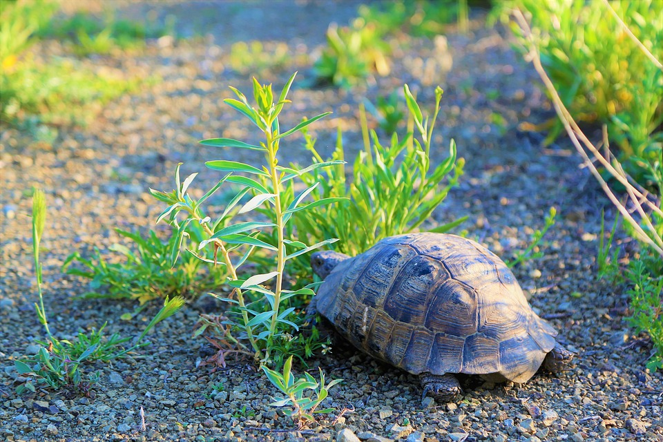 Schildkröte auf dem Weg zum Schildkrötenhaus