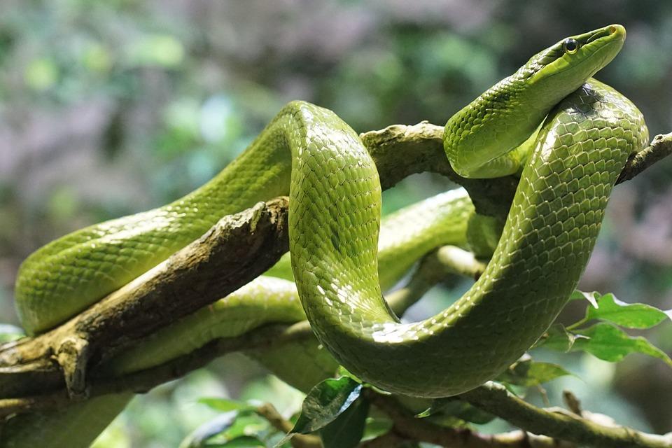 schlange-phobie-Ophidiophobie