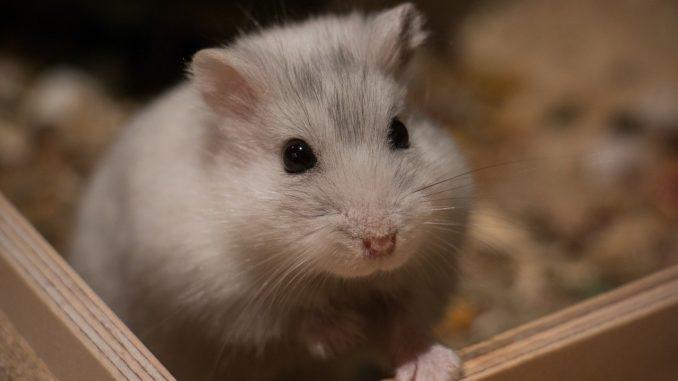 Hamster Geschlecht bestimmen