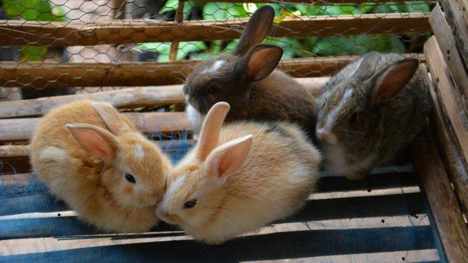 Vier Kaninchen in einem Kaninchenkaefig 160 cm