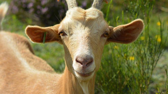 Leckstein für Ziegen und Schafe