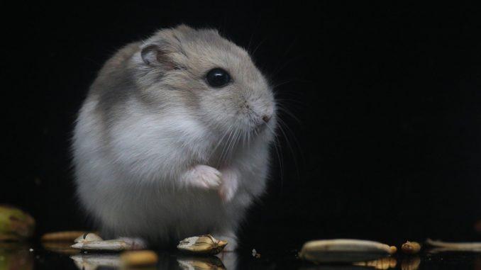 Hamster-sport-laufrad-tiergesundheit
