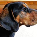 Hund mit Ohrmilben