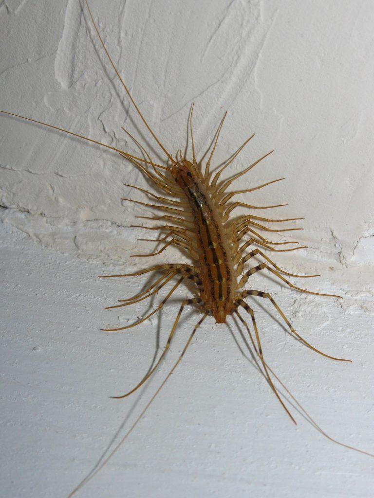 Spinnenläufer im Haus