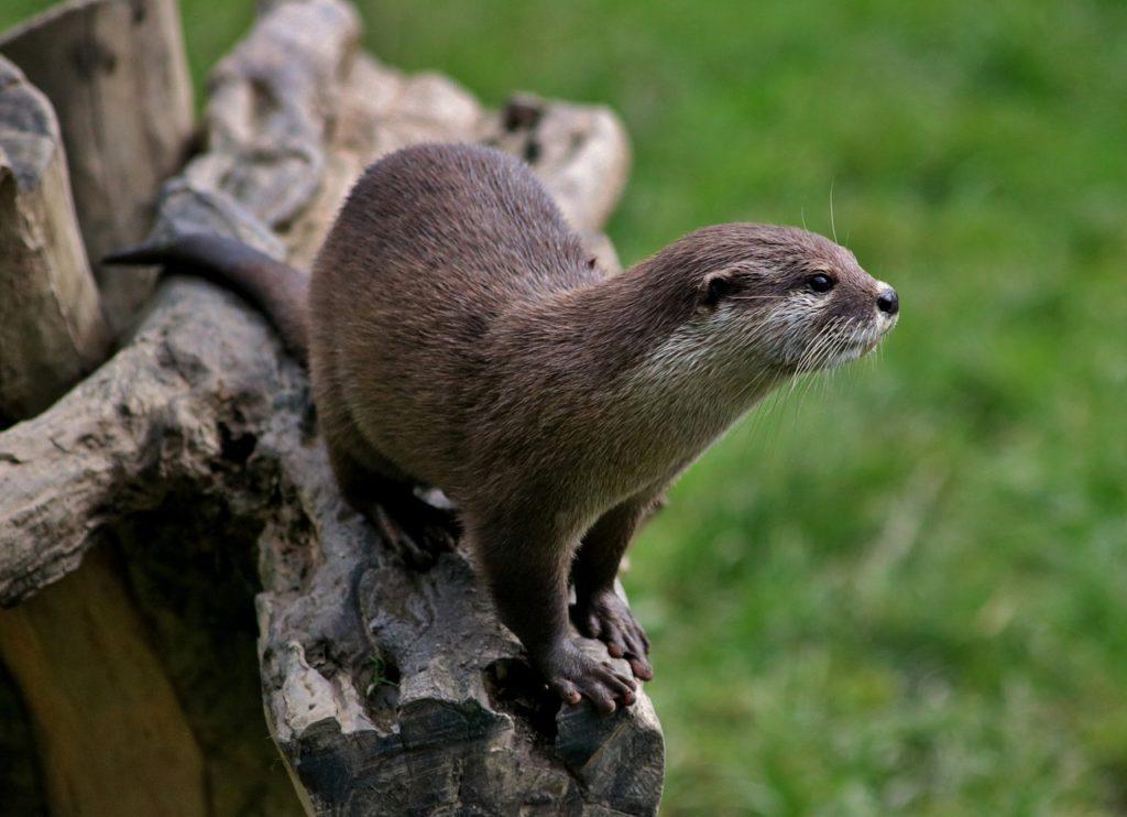 otter-kaufen-und-als-haustier-halten