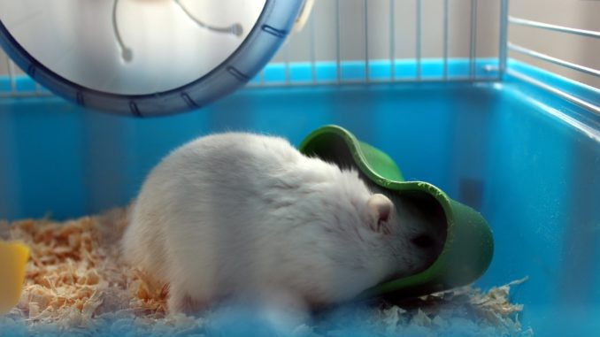 Hamster in einem blauem Käfig
