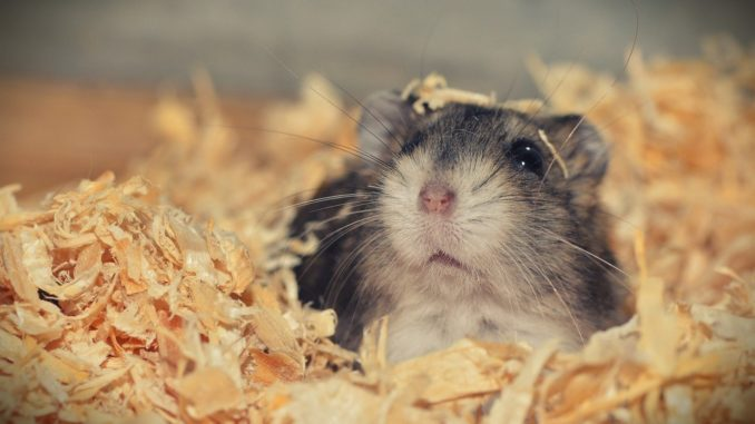 Hamster in einem Käfig