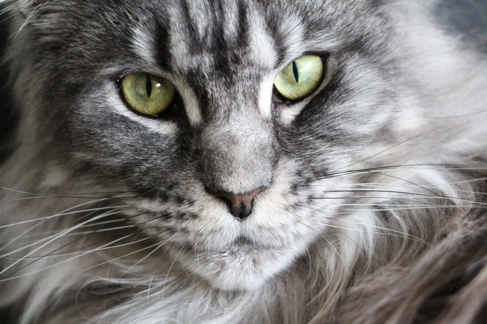 maine-coon-bkh-mix in grau