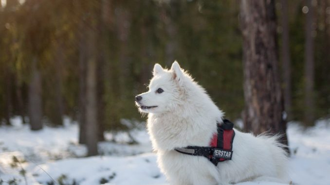 zwergspitz-pomerian-spitz-boo-hund