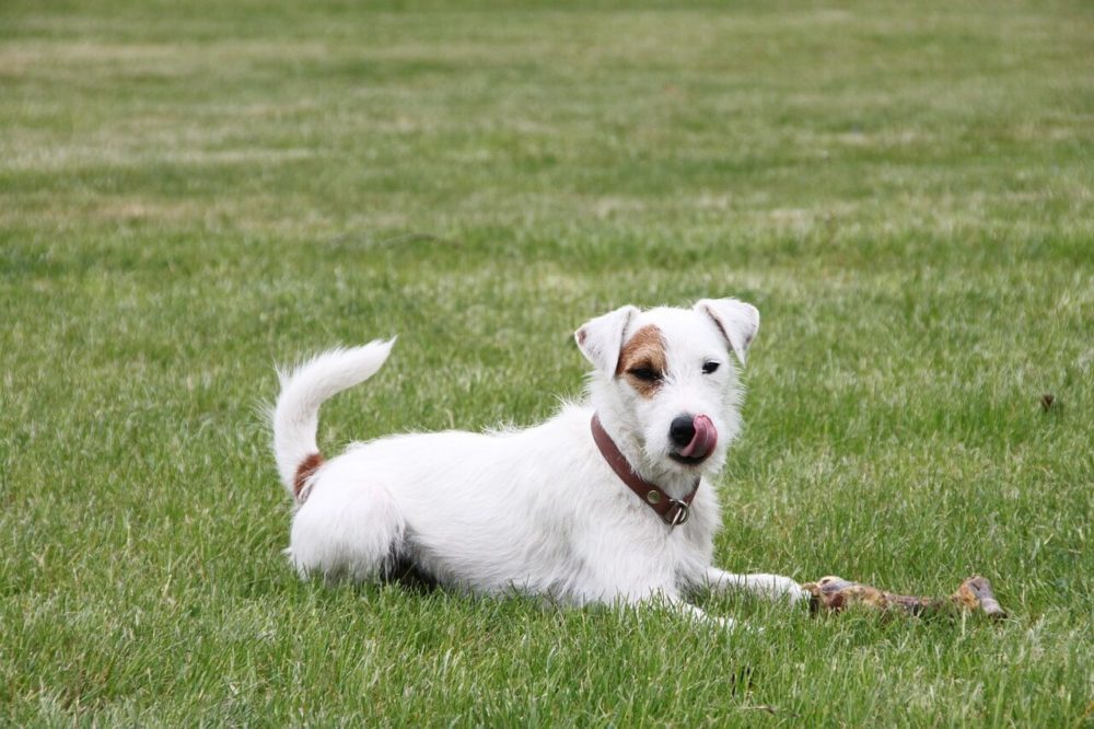 Hund auf Wiese mit Knochen