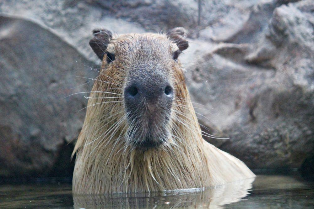 Capybara im Wasser als Haustier