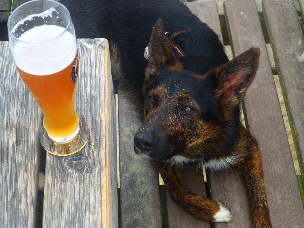 Blick von Hund auf Malzbier – Dürfen Hunde Malzbier trinken?