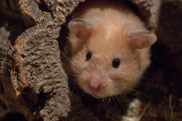 hamster in hoehle